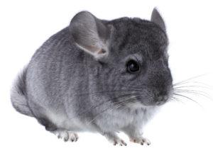 Gray ebonite chinchilla